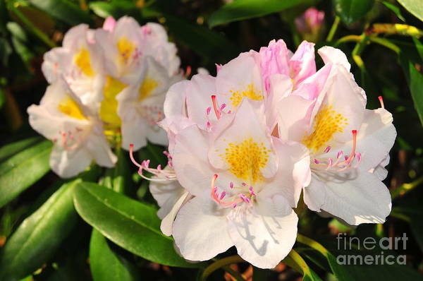 Background Print featuring the photograph Rhododendron by Catherine Reusch Daley
