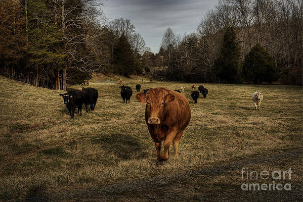 Scotopic Print featuring the photograph Scotopic Vision 9 - Cows Come Home by Pete Hellmann