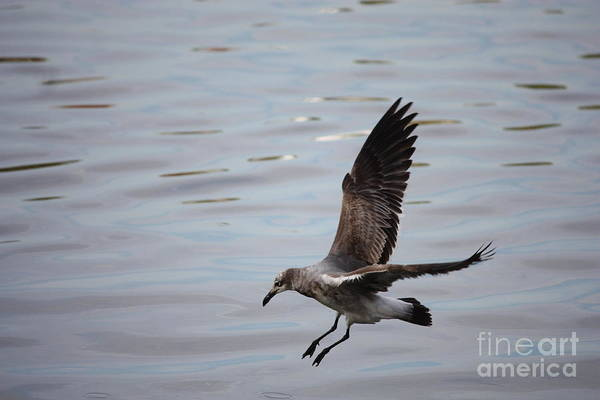 Wildlife Print featuring the photograph Seagull Landing by Carol Groenen