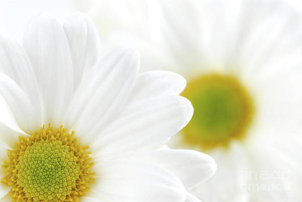 Daisy Print featuring the photograph White Daisies by Elena Elisseeva