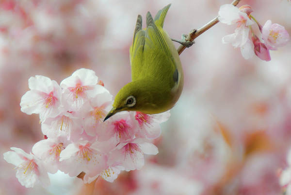 Horizontal Print featuring the photograph White-eye And Cherry Blossoms by I love Photo and Apple.