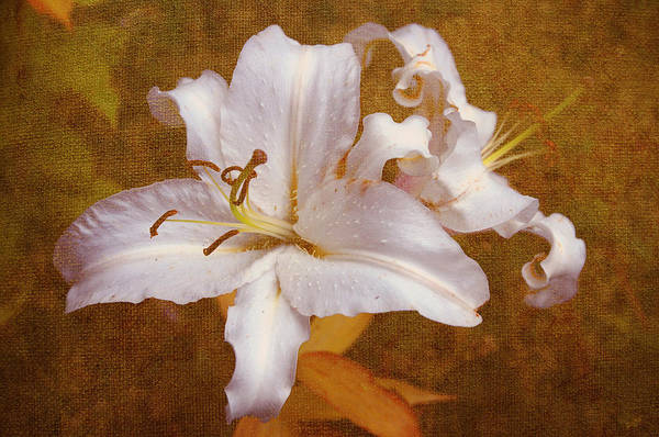 Lily Print featuring the photograph White Lilies. Time To Be Romantic by Jenny Rainbow