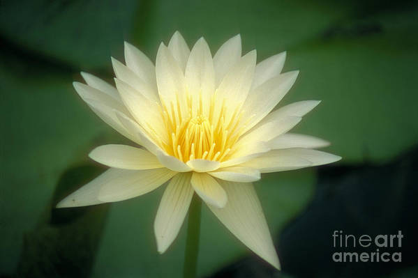 Anther Print featuring the photograph White Lily by Ron Dahlquist - Printscapes