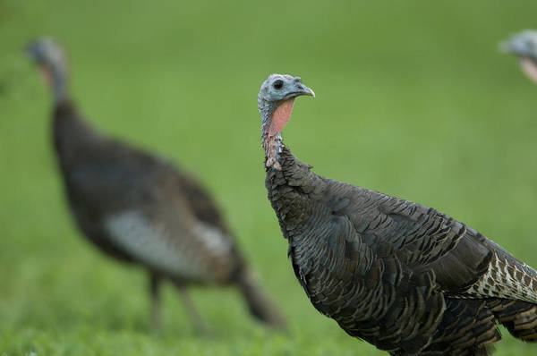 Photography Print featuring the photograph Wild Turkey Meleagris Gallopavo by Joel Sartore