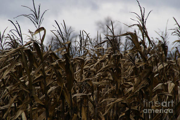 Corn Print featuring the photograph Wind Blown by Linda Knorr Shafer