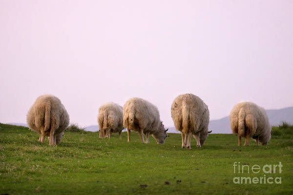 Sheep Print featuring the photograph Wooly Bottoms by Angel Tarantella