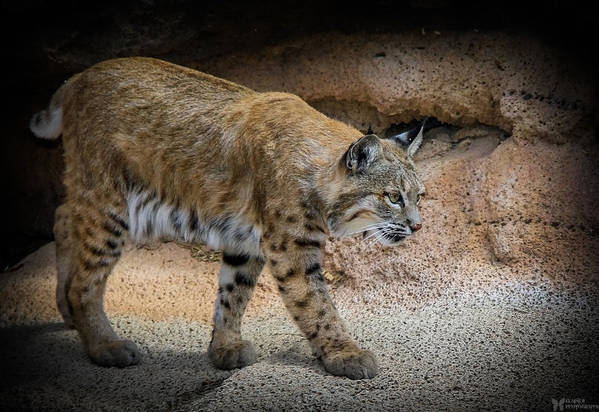 Bobcats Print featuring the photograph Bobcat by Elaine Malott