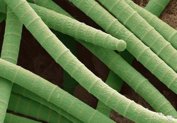 Alga Print featuring the photograph Microcoleus Cyanobacteria, Sem by Science Photo Library