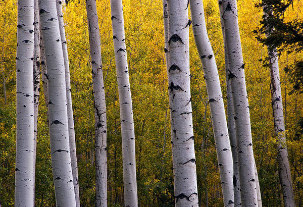 Aspen Print featuring the photograph Aspen Light 2 by Dave Dilli