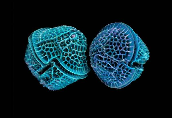 Alga Print featuring the photograph Diatoms, Sem by Science Photo Library