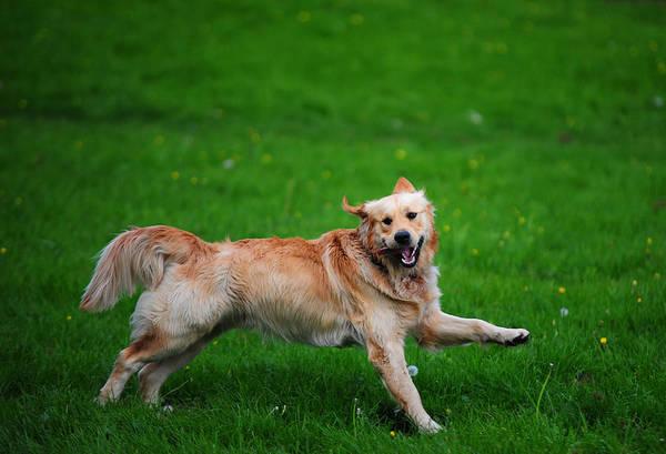 Dog Print featuring the photograph Lalala Happy Sunday. Golden Retriever by Jenny Rainbow