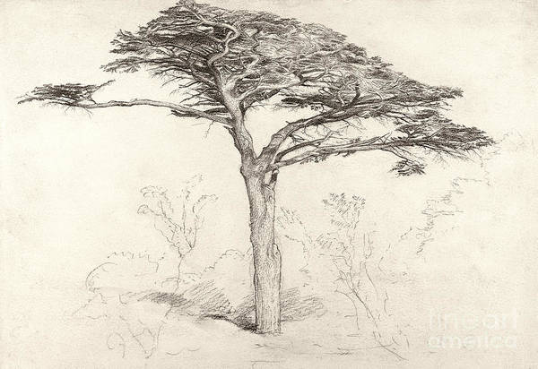 Drawing Print featuring the drawing Old Cedar Tree In Botanic Garden Chelsea by Samuel Palmer