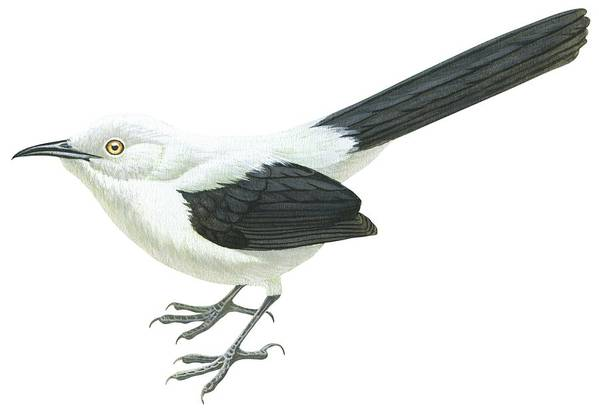 No People; Horizontal; Full Length; White Background; One Animal; Wildlife; Turdoides Bicolor; Southern Pied Babbler; Zoology; Black Color; White Color Print featuring the drawing Southern Pied Babbler by Anonymous