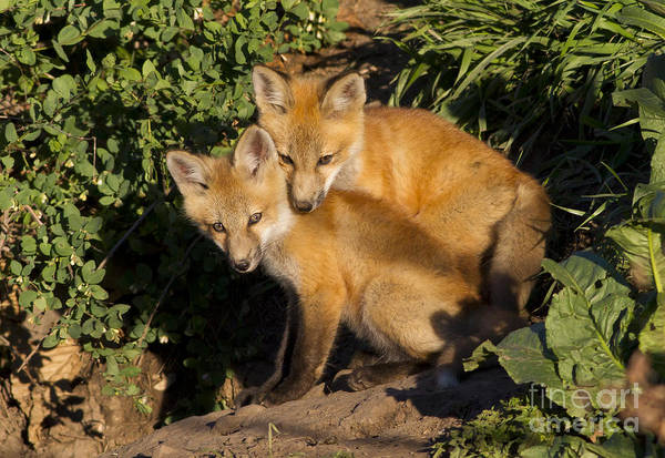 Fox Print featuring the photograph Best Friends by John Blumenkamp