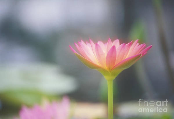 Afternoon Print featuring the photograph Pink Water Lily by Ron Dahlquist - Printscapes