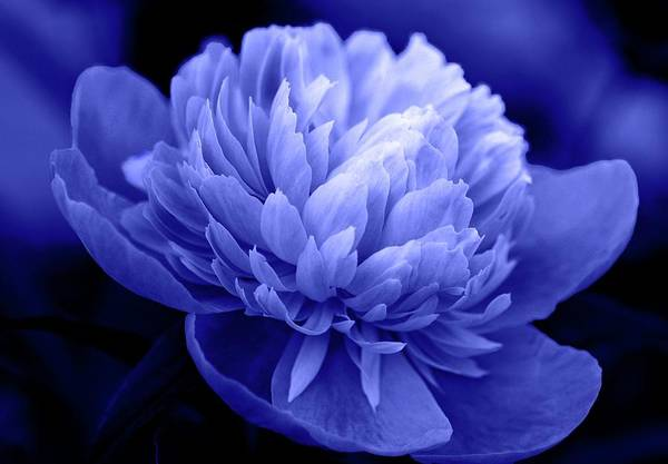 Flowers Print featuring the photograph Blue Peony by Sandy Keeton