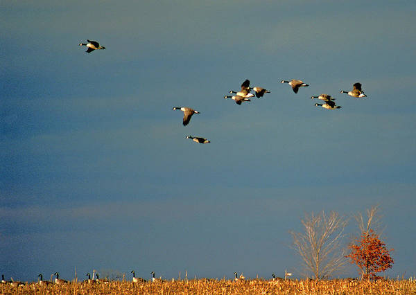 Names Of Birds Print featuring the photograph Corn For Breakfast by Skip Willits