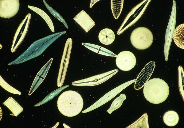 Nature Print featuring the photograph Light Micrograph Of Assorted Diatoms by Power And Syred