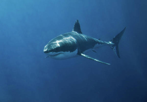 Horizontal Print featuring the photograph Great White Shark by John White Photos