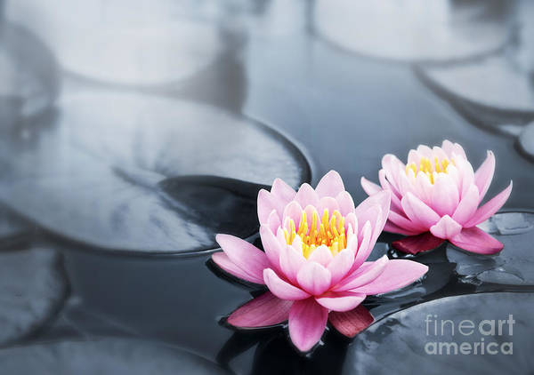 Blossoms Print featuring the photograph Lotus Blossoms by Elena Elisseeva