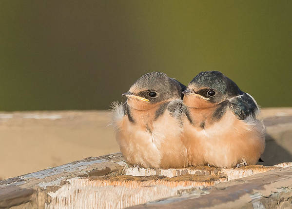 Swallows Print featuring the photograph Swallow Chicks by Yeates Photography