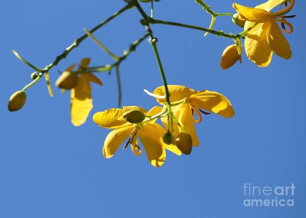 Cassia Print featuring the photograph Yellow And Blue by Theresa Willingham