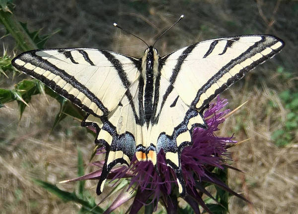 Print featuring the pyrography Scarce Swallowtail by Eric Kempson