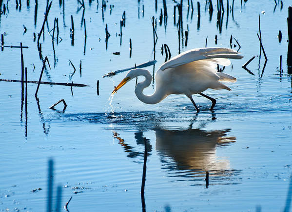 Bird Print featuring the photograph White Egret At Horicon Marsh Wisconsin by Steve Gadomski