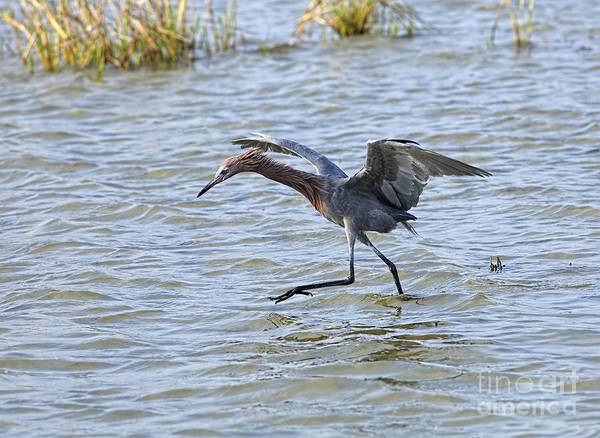 Reddish Egret Print featuring the photograph Reddish Egret Canopy Feeding by Louise Heusinkveld