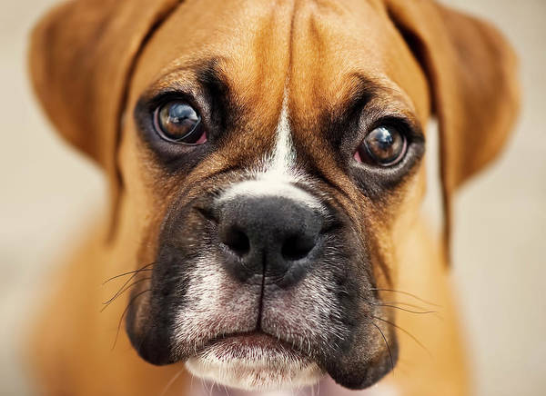 Horizontal Print featuring the photograph Boxer Puppy by Jody Trappe Photography