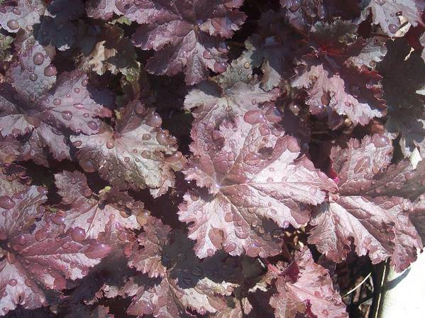 Purple Burgandy Leaves Dew Rain Drops Print featuring the photograph Burgandy Leaves After The Rain by Anna Villarreal Garbis