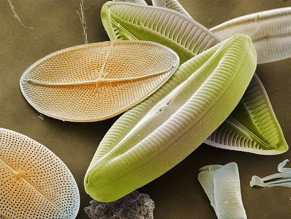 Navicula Palpebralis Print featuring the photograph Diatoms, Sem by Power And Syred