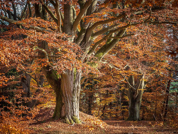 Beech Print featuring the photograph Bech Tree With Red Foliage by Martin Liebermann