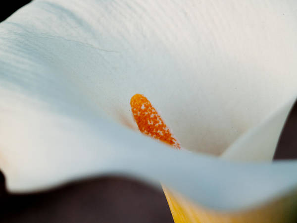 Cal Lilly Print featuring the photograph Calla Lily II by Bill Gallagher