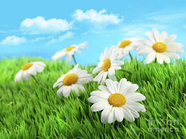 Blossom Print featuring the photograph Daisies In Grass Against A Blue Sky by Sandra Cunningham