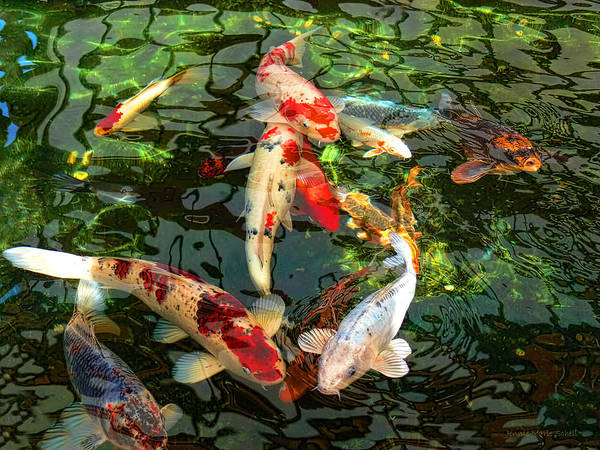 Japanese koi fish pond print by jennie marie schell for Koi fish framed prints