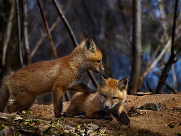 Kit Fox Print featuring the photograph Lets Play Together by Thomas Young