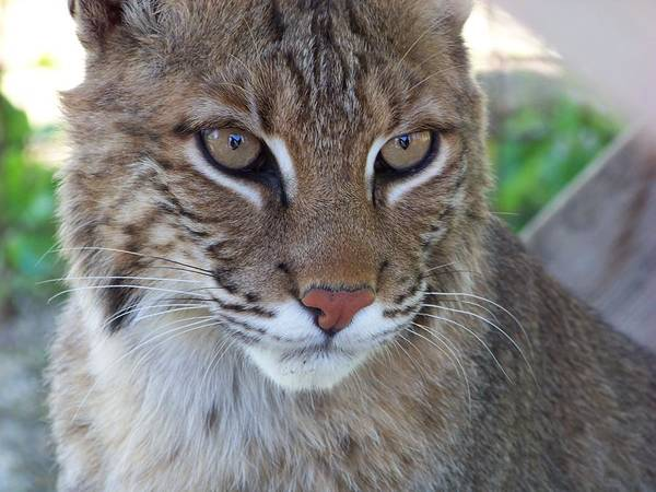 Cats Print featuring the photograph Male Bobcat1 by Jennifer King