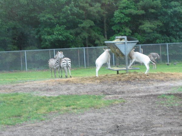 Six Print featuring the photograph Six Flags Great Adventure - Animal Park - 121247 by DC Photographer