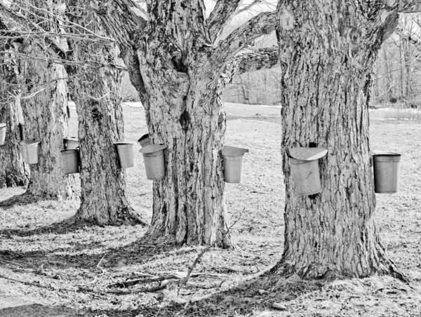 Angelic Maine Maple Syrup Maine Living Country Love Colors Gold Green Brown White Black Silver Metal Buckets Heavenly Hope Rockport Tap Tree Branch Liquid Money Maker In Maine Sky Holes Landscape Spring In Maine Black And White Print featuring the photograph Spring In Maine by Melanie Leo