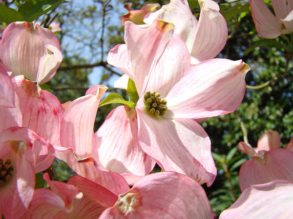 Dogwood Print featuring the photograph Spring Pink Dogwood Floral Art Prints Flowers by Baslee Troutman