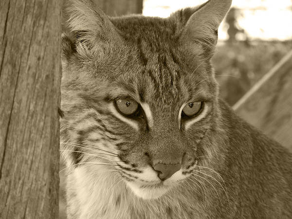Animals Print featuring the photograph The Hunter - Sepia by Jennifer King