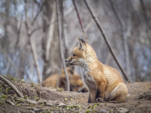 Red Fox Print featuring the photograph Waiting For Mom by Thomas Young
