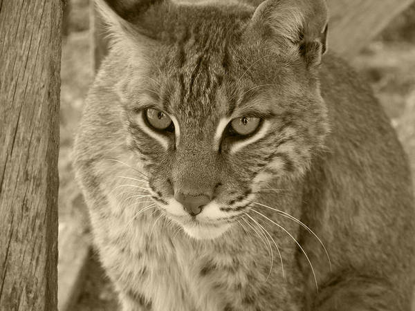 Bobcats Print featuring the photograph Watchful Eyes-sepia by Jennifer King