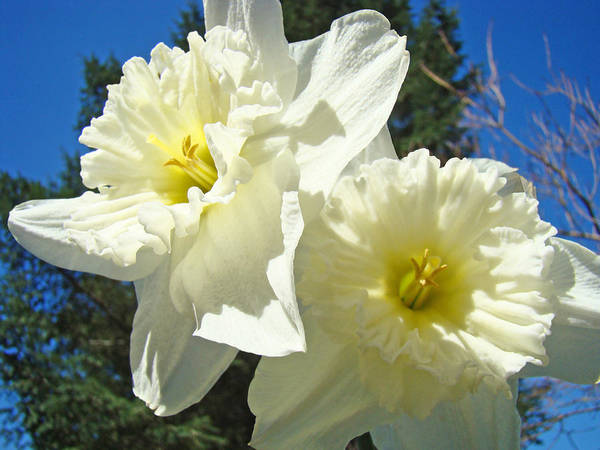 White Print featuring the photograph White Daffodils Flowers Art Prints Spring by Baslee Troutman