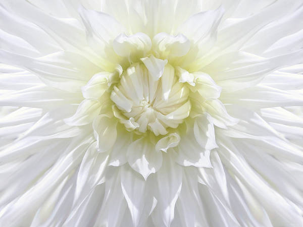 Dahlia Print featuring the photograph White Dahlia Floral Delight by Jennie Marie Schell
