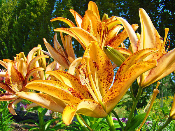 Lily Print featuring the photograph Bold Colorful Orange Lily Flowers Garden by Baslee Troutman