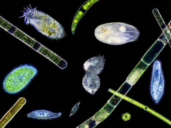 Paramecium Caudatum Print featuring the photograph Ciliate Protozoa, Light Micrograph by Laguna Design