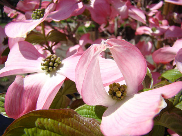 Dogwood Print featuring the photograph Fine Art Prints Pink Dogwood Flowers by Baslee Troutman