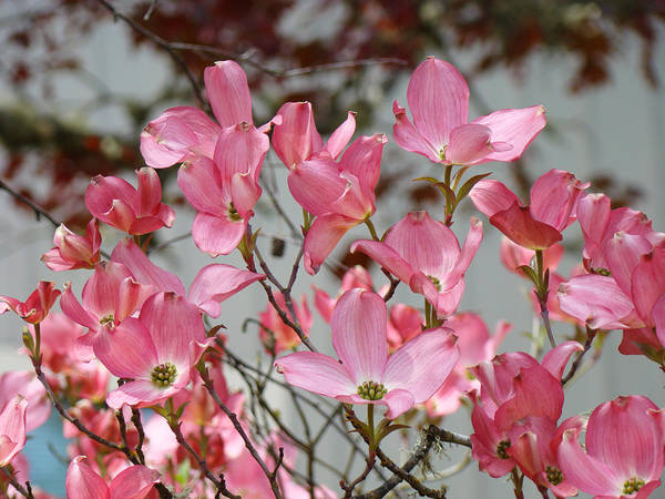 Dogwood Print featuring the photograph Spring Dogwood Tree Flowers Art Prints Pink Flowering Tree by Baslee Troutman